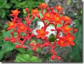 jatropha-podagrica
