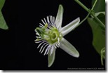 passiflora gracilis1.jpeg